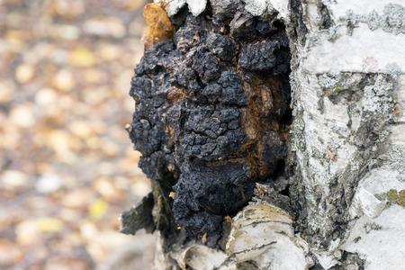 A growth on the birch - medicinal mushroom chaga. Foto de archivo