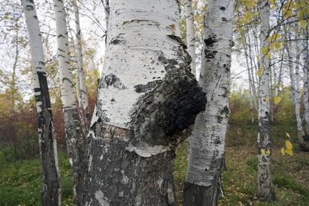 A growth on the birch - medicinal mushroom chaga. Stock fotó