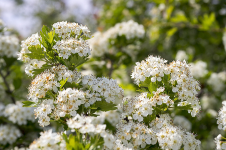 deny: Blooming hawthorn Bush on a bright Sunny day