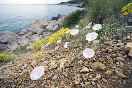 twining: Field bindweed ,birch on the shore of the black sea.Crimea. Stock Photo