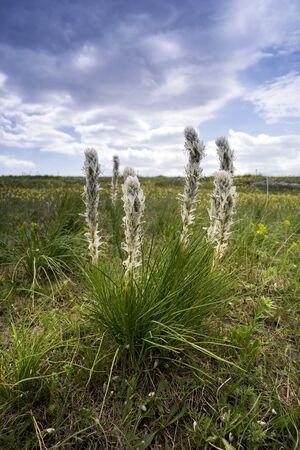 crimean: Herbaceous plant Asphodeline Crimean with white blossoms. Stock Photo