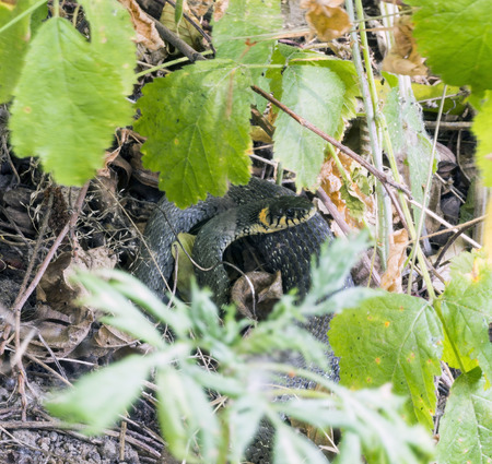 natrix: Young innocuous natrix reptile hidden in the grass in the forest. Stock Photo