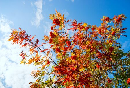 red bush: Red Bush of a mountain ash against blue sky .