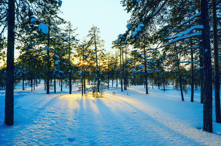 ray trace: Winter forest , the suns rays at sunset.