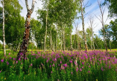fireweed: Fireweed blooming in a forest glade among the birches. Stock Photo