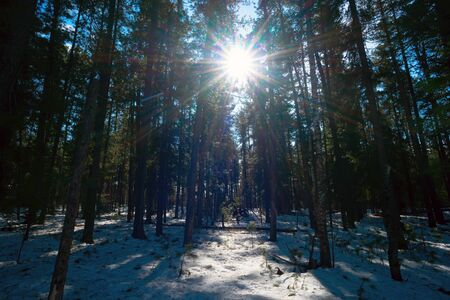 thawed: The bright sun among cedars in the winter forest. Siberia ,taiga.