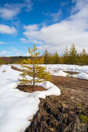 thaw: Spring thaw in the snow among young pines. Siberia , Yugra. Stock Photo