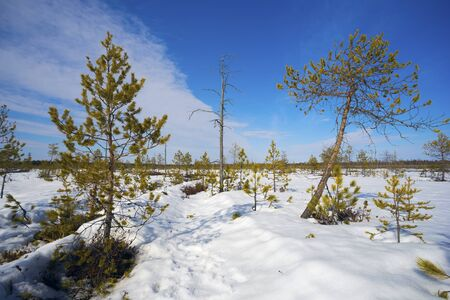 thawed: Not tall pine trees in a swamp in the winter.