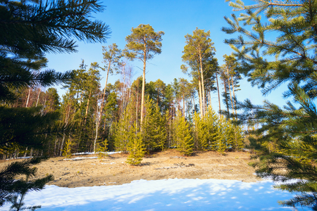 thawed: Forest glade with young and tall pine trees in  early spring. Stock Photo