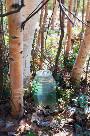 ooze: Birch SAP dripping into the jar full of juice.