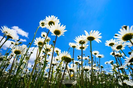 Daisies on blue sky background at Sunny day.