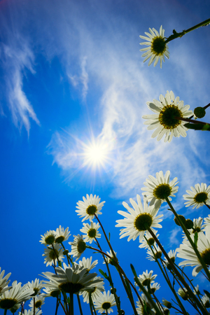 Daisies on a background of Sunny sky. Stock Photo