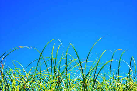The tips of the green grass against the blue sky . Stock Photo