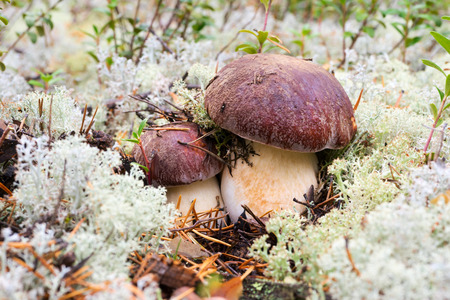 White mushrooms, grow in the forest among the moss. Stock Photo