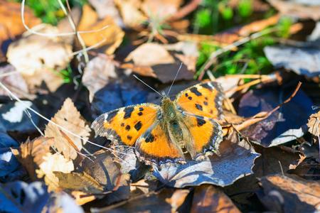 pokrzywka: pokrzywka Motyl na słońcu .Siberia