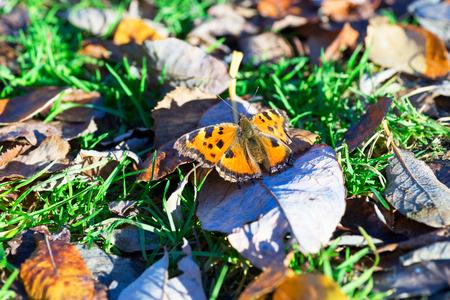 pokrzywka: Butterfly urticaria basking in the sun .Siberia Zdjęcie Seryjne