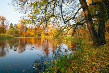 Autumn landscape . Trees with jeltymi leaves on the lake. Stock Photo