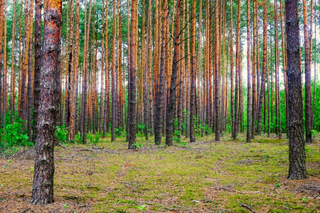 In the Belarussian forest with pine trees . On a Sunny summer day.
