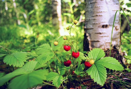 Berries wild strawberry under a birch tree.
