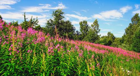 Pink wildflowers . Summer landscape.