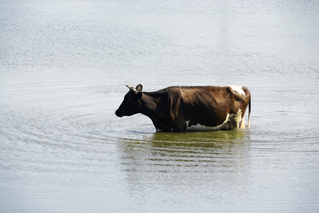 A cow came to drink to the river. 写真素材