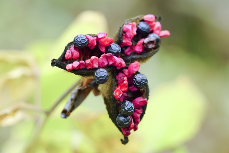 Seeds of Crimean peony Paeonia daurica .Crimea. Cape Aya . Russia. Imagens