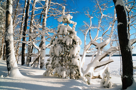 Fluffy white snow on the trees in the forest .Winter landscape . Russia.Leningrad region.
