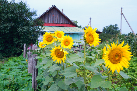 Flowering sunflowers in the garden near the wooden house in the village. Belarus.