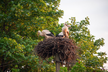 A family of storks in their nest, sitting high on a pole near the maple. Belarus,Polesie.