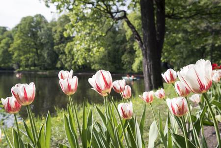 Tulips in the spring Park on Elagin island, St. Petersburg .
