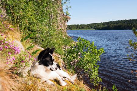 The dog is lying on a strawberry field with flowers on the shore of the lake.