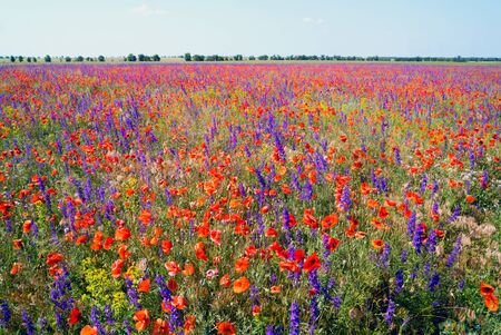 Blooming red poppies and purple flowers in the field .