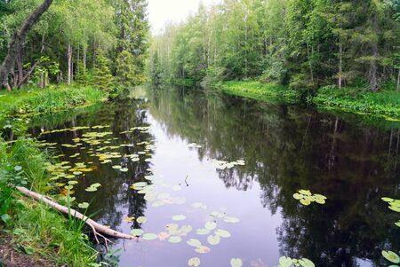 Water lilies in the Tohmajoki river . Karelia.