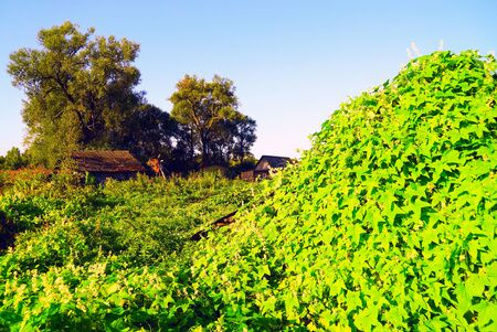 Rural landscape. Ivy Echinocacti on the hill .
