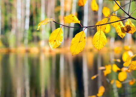 Branch with yellow leaves on the background of water forest lake. Autumn landscape