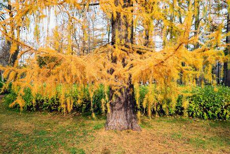 Golden autumn, bright yellow branches of larch . Saint Petersburg.