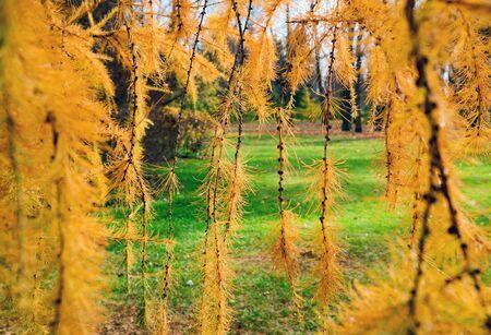 Golden autumn, bright yellow branches of larch . Saint Petersburg Stock fotó