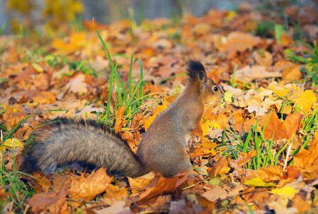 Red squirrel Sciurus vulgaris in autumn forest litter, St. Petersburg, October