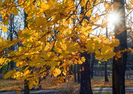 Autumn yellow chestnut leaves on the branches .Elagin island. Saint-Petersburg Stock fotó - 133243969