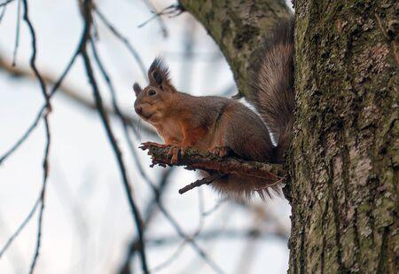 A red squirrel Sciurus vulgaris sits on a tree. St. Petersburg, October