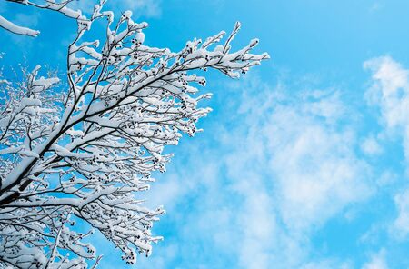 Snowy branches of alder trees against the blue sky. Stock fotó