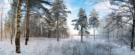 Winter landscape with snow-covered trees in the forest. Panorama.