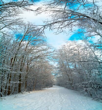 Winter road with snow-covered trees in the forest. Panorama.