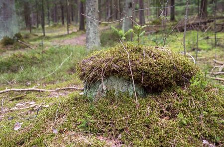 A stump overgrown with moss in the forest