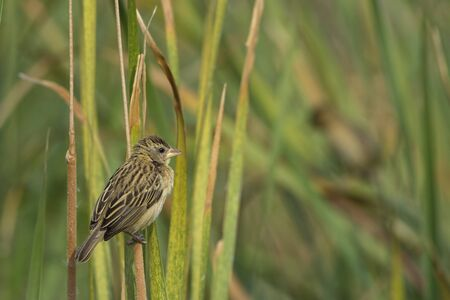 Female Baya Weaver (Ploceus philippinus) perched on tall grass.They have a stout conical bill and a short square tail.Breeding males have a bright yellow crown, dark brown mask, blackish brown bill, upper parts are dark brown.