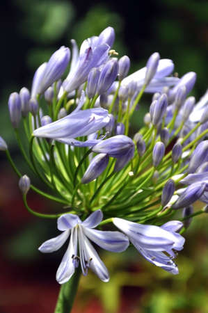 Close up of blue agapanthus flower in summer garden  photo