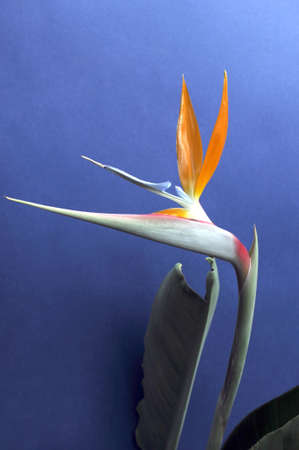 bird of paradise plant: Bird of Paradise flower against a blue background  Strelitzia reginae is a monocotyledonous flowering plant indigenous to South Africa  Common names include Strelitzia, Crane Flower or Bird of Paradise  Photo taken in South Australia  Vertical  Stock Photo
