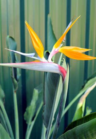bird of paradise  flower: Bird or Paradise or South African Crane Flower, botanical name Strelitzia reginae, in garden setting