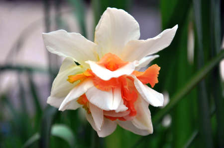 hardy: Rare and unusual pink orange double daffodil  Narcissus  is a genus of mainly hardy, mostly spring-flowering, bulbous perennials in the Amaryllis family, subfamily Amaryllidoideae  Various common names including daffodil, narcissus, and jonquil are used t Stock Photo