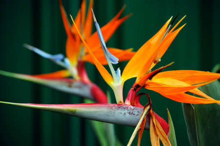 Strelitzia, the Bird of Paradise flower, is a genus of five species of perennial plants, native to South Africa  It belongs to the plant family Strelitziaceae  In South Africa it is commonly known as a crane flower and is featured on the reverse of the 50 photo